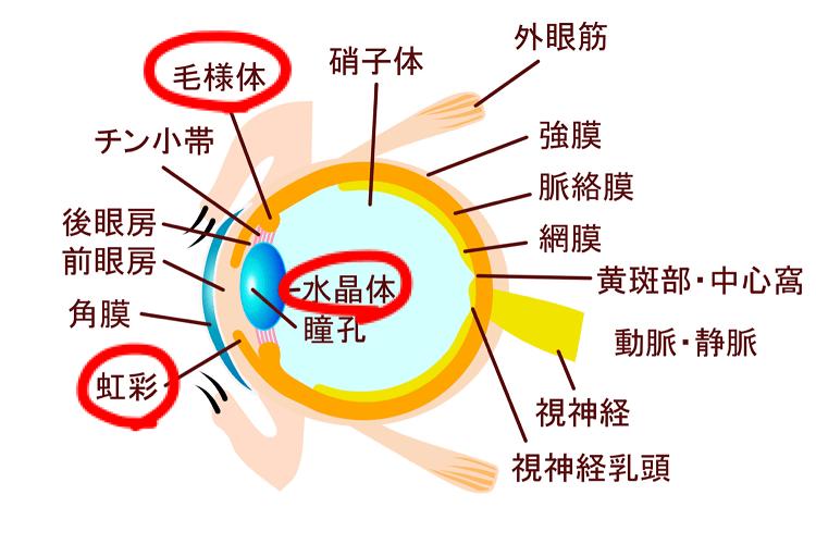 虹彩と毛様体と水晶体の図